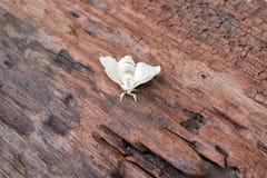 Silk Motte auf Silk Kokon stockfoto