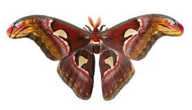 Silk Motte des riesigen Atlasses, Attacus-Atlas, wird auf weißem Hintergrund lokalisiert lizenzfreie stockfotos