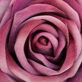 Silk purple rose Stock Photos