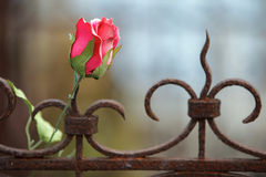 Silk rose on rusted fence Stock Photo