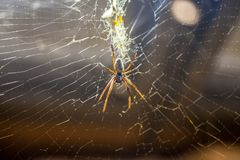 Silk spider hangs in a spiderweb. A silk spider hangs in a spiderweb Stock Photos