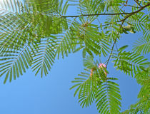 Silk tree. Acacia (Albizia julibrissin Royalty Free Stock Photo