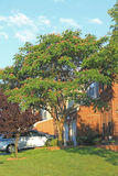 Silk Tree. Albizia Julibrissin in front of brick house stock photography