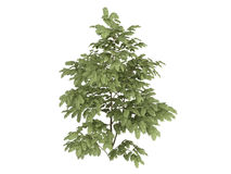Silk_tree_(Albizzia) Stock Photo