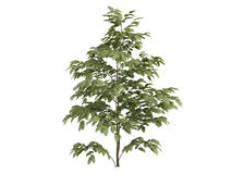 Silk_tree_ (Albizzia) Stockbilder