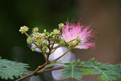 Silk tree Stock Photography