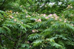 Silk tree Stock Photos