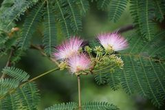 Silk tree Royalty Free Stock Photo