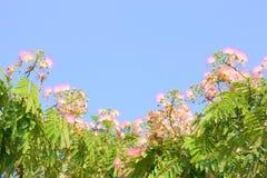 Silk Tree Stock Photo