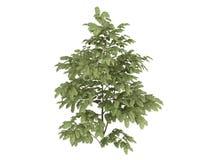silk tree för albizzia Arkivfoto