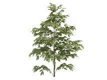 silk tree för albizzia Arkivbilder