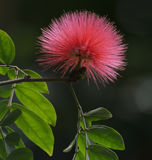 Silk Tree Flower Stock Photography