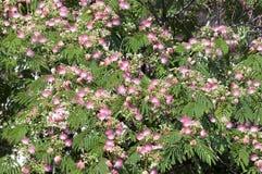 Silk tree flowers. Silk tree - Albizia julibrissin- flowers background stock photography