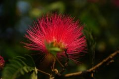 A close-up of Persian silk tree flower royalty free stock images