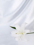 silk white för lilja Royaltyfria Bilder