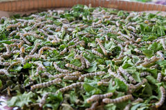 Silk worm Royalty Free Stock Photo