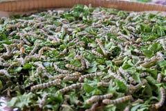 Silk worm Royalty Free Stock Photo
