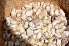 Silk worm cocoons Royalty Free Stock Photo