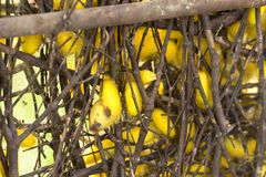 Silk worm cocoons in nests.  Royalty Free Stock Photography