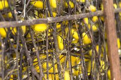 Silk worm cocoons in nests.  Stock Photos