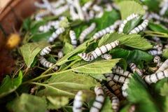 Silk worm Royalty Free Stock Photos