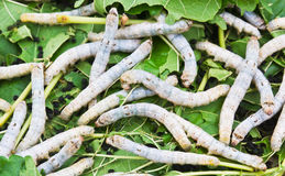 Silk worm eating mulberry leaf Royalty Free Stock Images