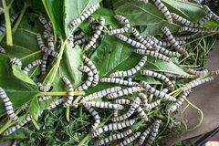 Silk worm eating mulberry leaf focus silk worm  worm larvae Royalty Free Stock Images