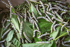 Silk worm eating mulberry leaf focus silk worm  worm larvae Stock Photography