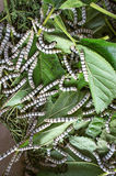 Silk worm eating mulberry leaf focus silk worm  worm larvae Stock Photo