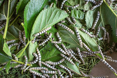 Silk worm eating mulberry leaf focus silk worm  worm larvae Stock Image