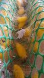 Silk worm moth stock photography