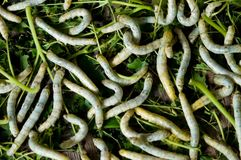Silk Worms Stock Photos