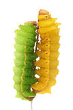 Silk worms Stock Photography