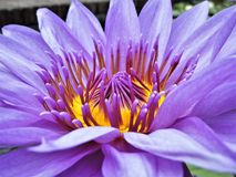 A Silken Purple Water Lily Stock Photo