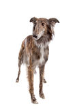 Silken Windhound Royalty Free Stock Photo
