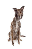 Silken Windhound Stock Images