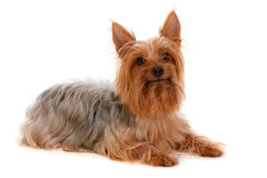 Silkeslen Terrier royaltyfria bilder