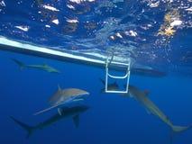 Silkeslena hajar i klart blått vatten, Jardin de la Reina, Kuba Royaltyfria Foton