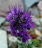Silkeslena Phacelia Royaltyfri Bild