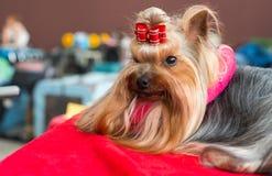 Silkeslena Terrier Royaltyfri Fotografi