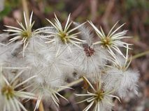 Silkeslent frö av klematisvitalbaen royaltyfri foto