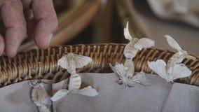 Silkesmaskar föder upp och reproducerar Ett viktigt ekonomiskt djurt mig arkivfilmer