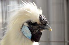 鸡silkie 库存图片