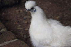 Silkie Bantam Chicken. The Silkie (sometimes alternatively spelled Silky) is a breed of chicken named for its atypically fluffy plumage, which is said to feel Stock Photography