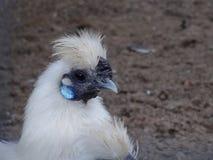 Silkie Bantam Chicken Royalty Free Stock Photos