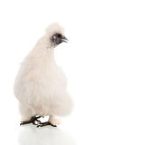 Silkie bianco Fotografie Stock Libere da Diritti