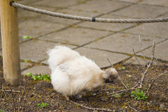 Silkie chicken is a breed named for it`s fluffy plumage, that feel to the touch like satin or silk Royalty Free Stock Images
