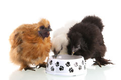 Silkie chicken eating Royalty Free Stock Photo