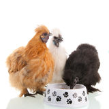 Silkie chicken eating Stock Photography