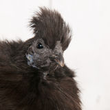 Silkie chicken in henhouse Royalty Free Stock Images